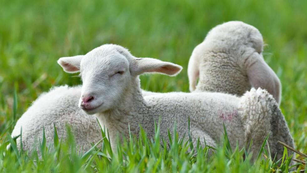 STRESS?: Dyr som blir transportert til slakteriet blir mer stresset enn dyr som slaktes hjemme på gården, viser forskning. Foto:     AFP PHOTO / DPA