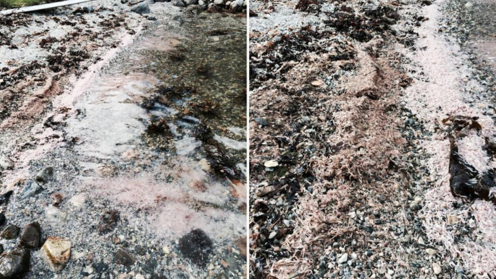 STRANDA FARGET ROSA: Stranda ved Ålfjorden i Sveio er farget rosa av rekene, som ifølge hytteeier Åge Wee dekker et belte på 2000 meter. Foto: ÅGE WEE