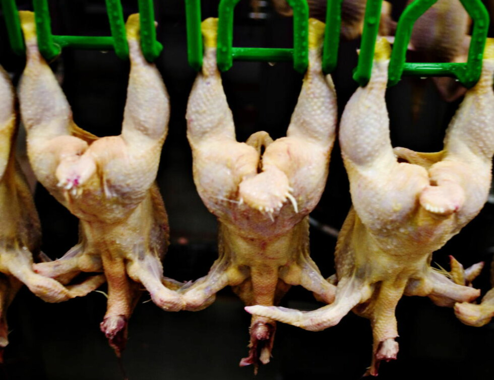 NOE Å FRYKTE? Nordmenn konsumerer omlag 20 kilo kylling hver i året. Artikkelforfatter Erling Dokk Holm mener det er grunn til å frykte at kjøttet kan inneholde multisresistente bakterier. Foto: ADRIAN ØHRN JOHANSEN