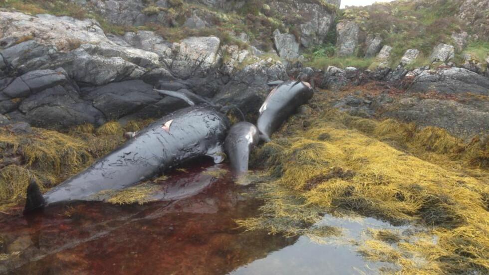 TRAGISK SYN: I dag morges ble det funnet en stor flokk døde grindhvaler i Vikna i Nord-Trøndelag. Foto: Svein Gunnar Myhren