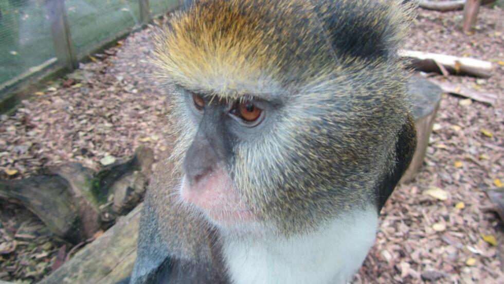 CAMPBELL-APE:  Campbell-apen snakker, og nå mener forskere at de kan forstå hva den sier. Foto: Wikimedia Commons