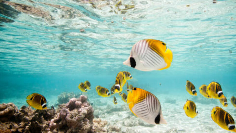 FARGERIKT: De myteomspunne øyene i Stillehavet er svært ofte omgitt av korallrev med fargerike fisker som mest minner om et akvarium. Foto: FIJIREISER