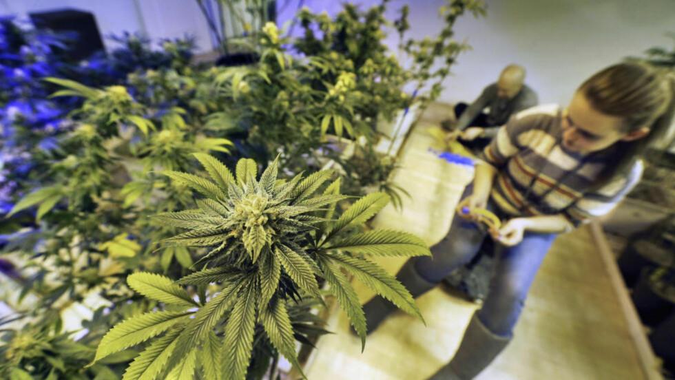 LOV I COLORADO: Produksjon og bruk av cannabis har vært lov siden 2013 i Colorado. Foto: AP / Brennan Linsley / NTB scanpix