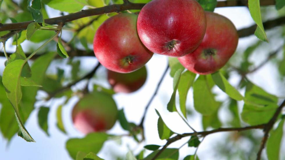 EPLER OG PÆRER: I Normandie nord i Frankrike produseres Calvados på lokale eple- og pæresorter. Foto: COLOURBOX