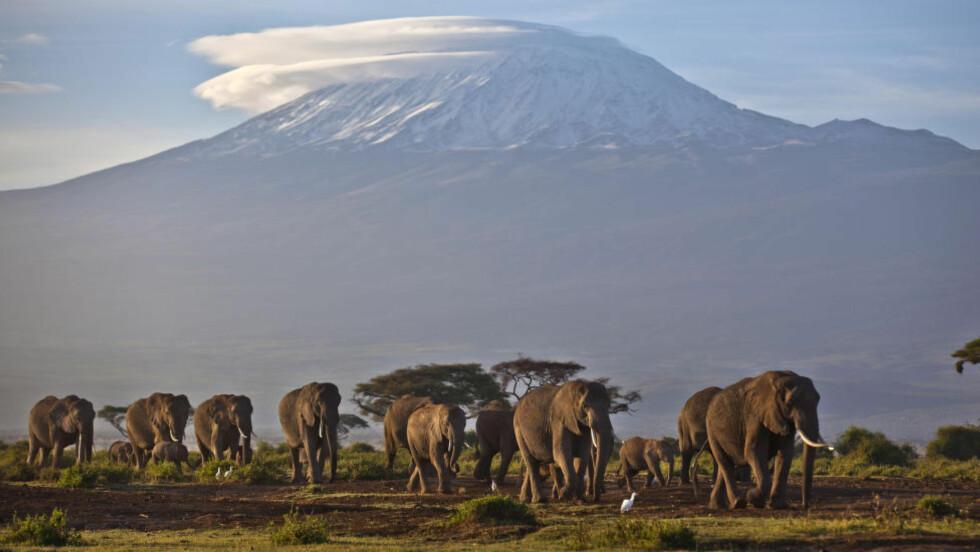 NEDGANG:  Det har vært en dramatisk nedgang i antall ville dyr de siste 40 årene. Afrikanske elefanter har ifølge Wf hatt en nedgang på mer enn 60 prosent mellom 2002 og 2011, i hovedsak på grunn av ulovlig jakt og avskoging, ifølge WWF. Foto: AP Photo/Ben Curtis