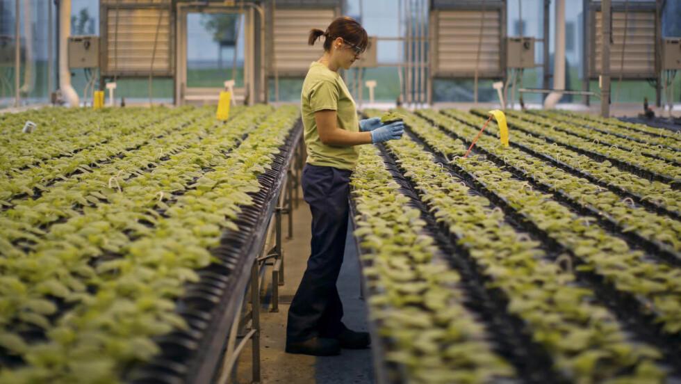 TRENGS SÅRT: To små firmaer utvikler medisinen Norge nå har fått en dose av. Det jobbes på spreng for å lage mer. Denne kvinnen, fotografert ved Medicago greenhouse i Quebec i august, jobber med tobakkplantene som redder liv i bekjempelsen av ebola-viruset. Foto: REUTERS/Mathieu Belanger/NTB Scanpix