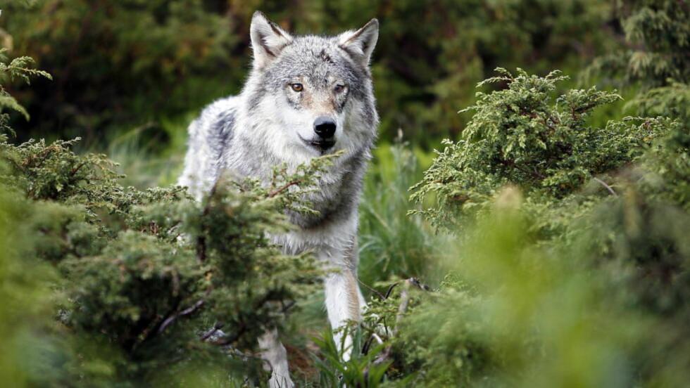 30 HELNORSKE ULVER: World Wide Fund for Nature (WWF) sier det er vanskelig å forstå at Norge ikke skal ha leveområder store nok til en levedyktig ulvebestand. Den helnorske ulvebestanden teller rundt 30 individer. Foto: Ole C. H. Thomassen/Dagbladet