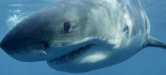 Trener opp haier for å stoppe drakefisk-invasjon