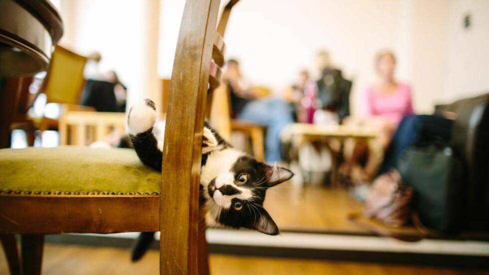 P(A)USEKOS: Sphynx er en av 17 katter på Le Café des Chats' i Paris. Foto: MATHIEU GÉNON