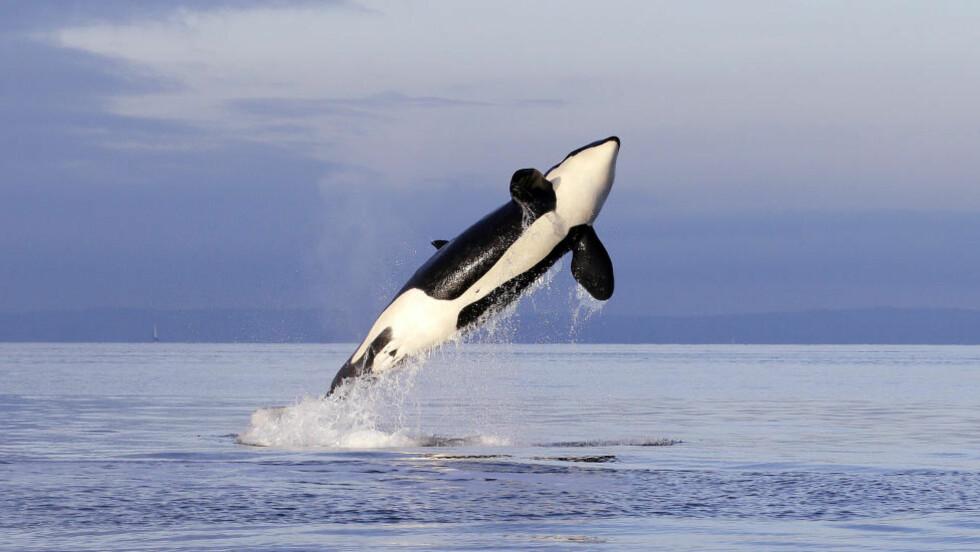 LÆRER DELFINSK  Spekkhoggere kan både svømme og hoppe, slik som denne vest for Seattle i januar i år, men nå kan de også snakke delfinsk. Foto: NTB Scanpix