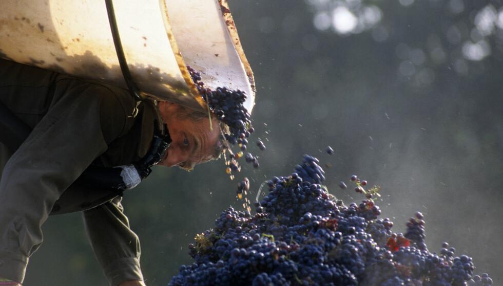 SAFTIGE RØDVINER: Når det gjelder druer er det først og fremst utgaver med frisk frukt og saftighet som er ønskelig til seinsommerens røde viner. Her fra druehøsting i Loire i Frankrike. Foto: PHILIPPE BODY / NTB SCANPIX