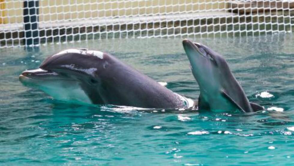 DØPT ORIGI:  En nyfødt delfin i Boudewijn Separk i Brügge ble den 23. juni, dagen etter Divock Origi ble matchvinner for Belgia. Derfor ble delfinen døpt Origi. Foto: AFP PHOTO / BELGA / KURT DESPLENTER/ NTB Scanpix.
