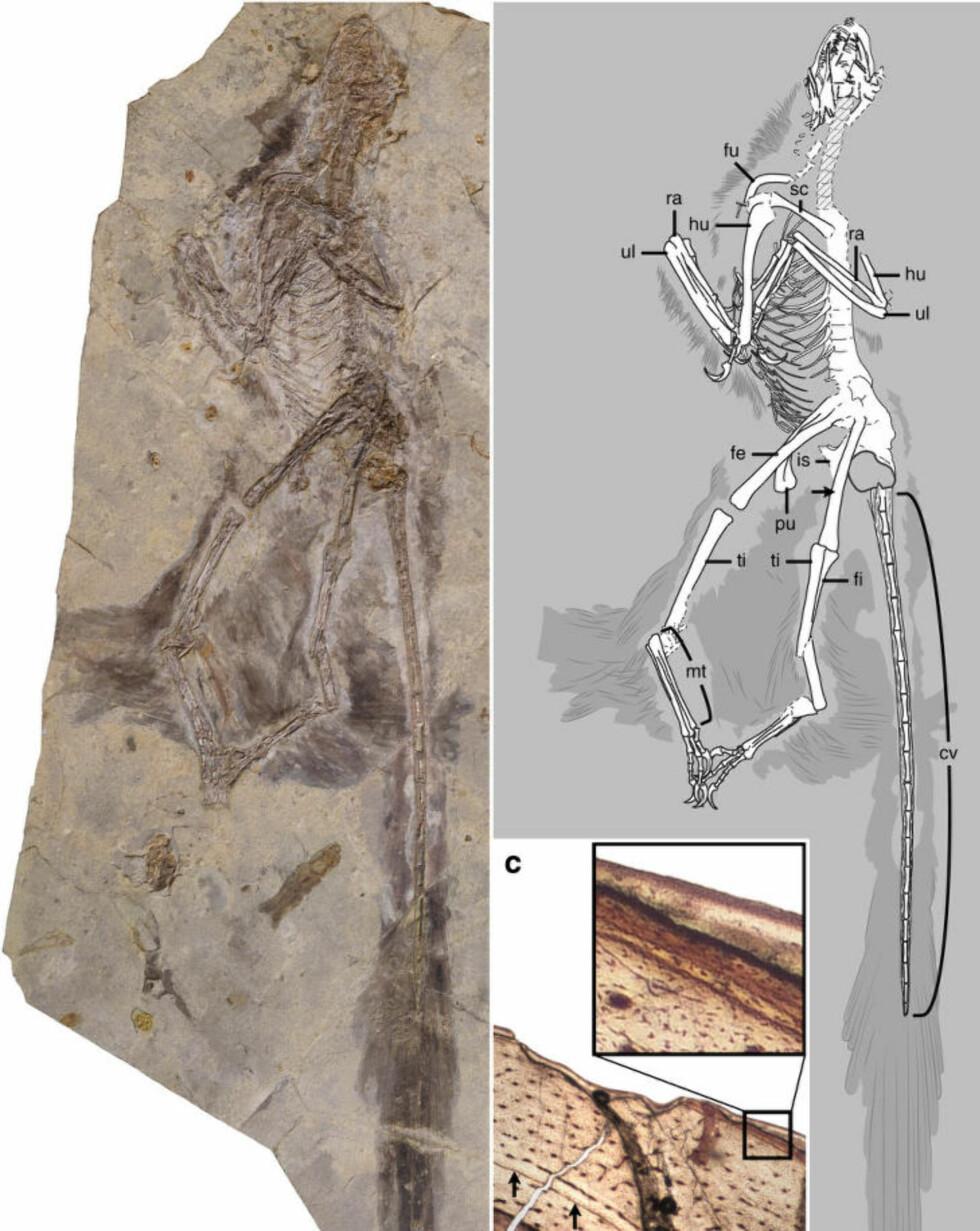INGEN FLYVEMESTER: De vingekledde for- og baklemmene gjorde at C. yangi trolig greide å oppnå en form for glideflukt. Foto: Alan Turner et.al.