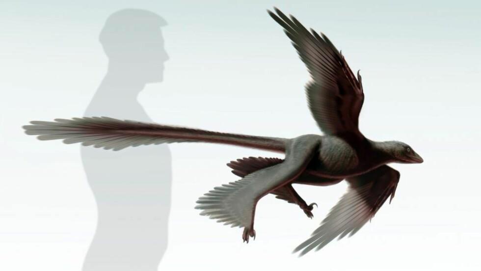 «SKREKKALKUN:» Den nyoppdagede dinosauren er på størrelse med en kalkun, har fire vinger, en særdeles lang hale og kaster lys på hvordan dagens fugler - de eneste overlevende dinosaurene - ble til. Foto: AFP / Dinosaur Institute of the Natural History Museum of Los Angeles / S. Abramowicz / NTB Scanpix