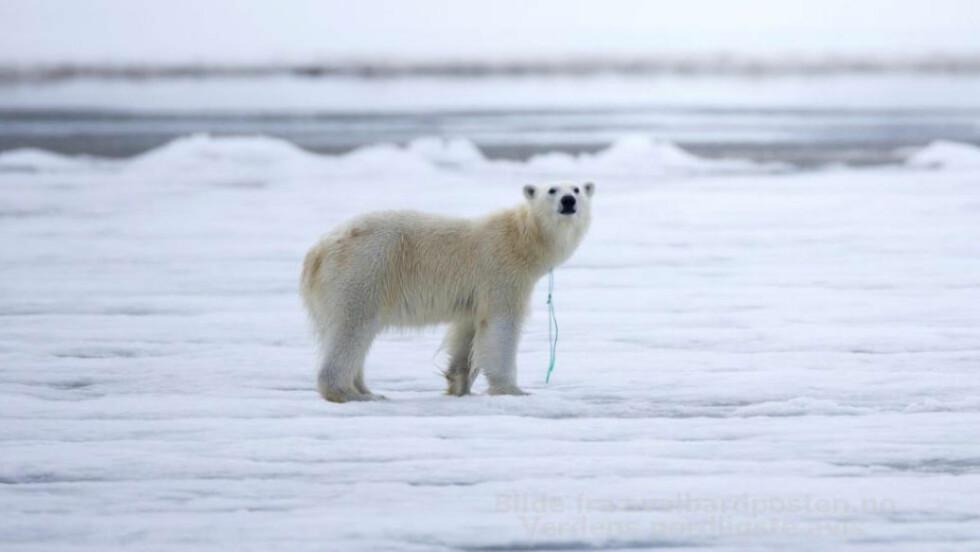SØPPEL PÅ SVALBARD: Svein Wik tok for noen uker siden dette bildet på Svalbard av en isbjørn med nylontau rundt halsen. Sysselmannen forsøker nå å lokalisere isbjørnen så tauet ikke gjør noe skade på dyret. Foto: Svein Wik