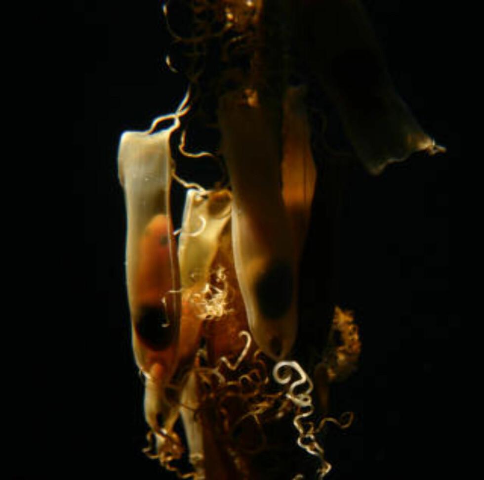 HAIEGG: Her henger rødhaien inne i egget før den klekkes ut. Foto: ROGER JANSSON / HAVETS HUS