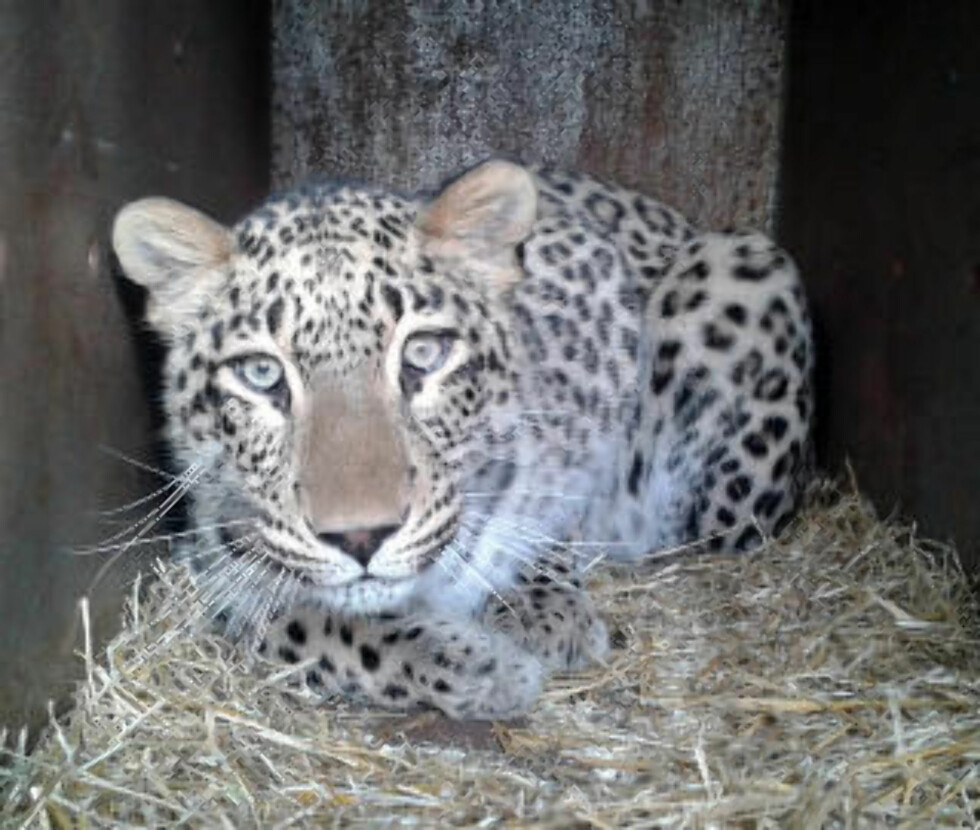 SIST ANKOMMET:  Persisk leopard. Foto: LINDA SVENSSON / NORDENS ARK