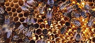 «Forsvinner biene fra jordas overflate, har menneskeheten bare fire år igjen å leve»