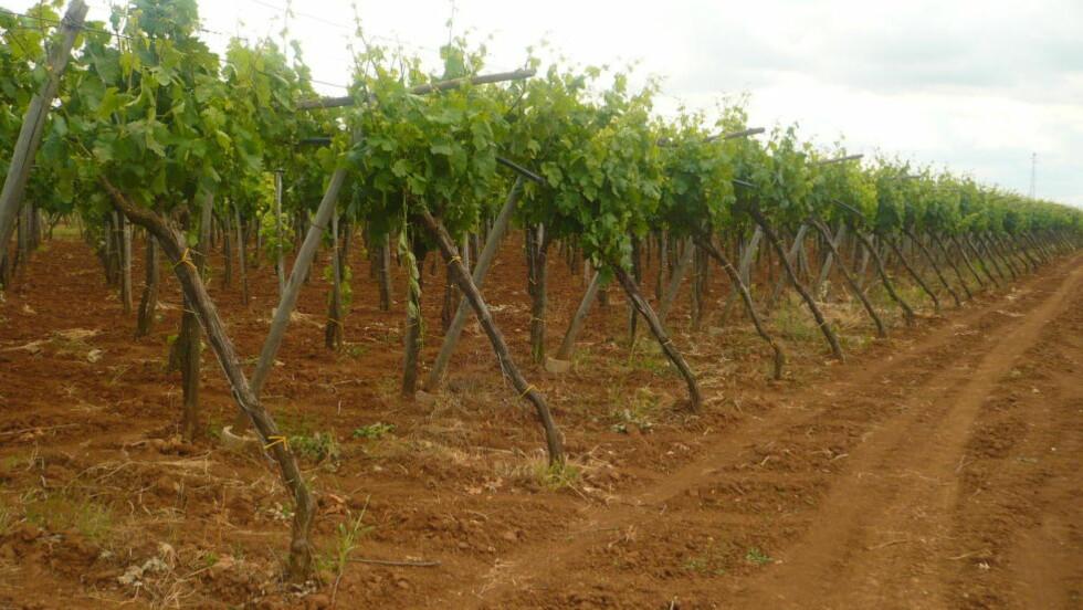 POPULÆR VIN: Puglia er trolig det mest kjente området for nordmenn flest. Her produseres det store mengder volumvin av primitivo- og negroamarodruer, som er veldig godt representert på det norske markedet. Vinene kan ofte ha en rik stil med høy alkohol, noe som lenge har vist seg meget populært i Norge i form av passito viner fra Veneto i nord.  Foto: ANNABELLE OROZCO/CREATIVE COMMONS