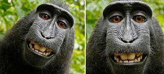 Wikipedia nekter å slette disse ape-selfiene