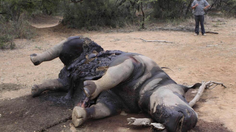 DREPES: Neshorn drepes i stor skala på grunn av den høye verdien på hornene. Foto: AP/NTB Scanpix.