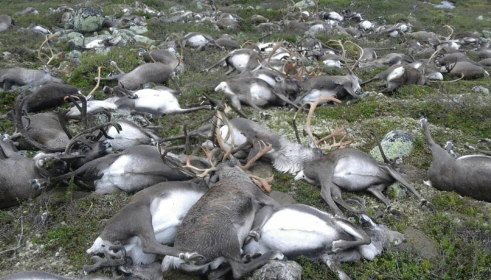 TRAGEDIE: 322 reinsdyr ble trolig drept av lynet på Hardangervidda. Foto: Håvard Kjøntvedt / SNO