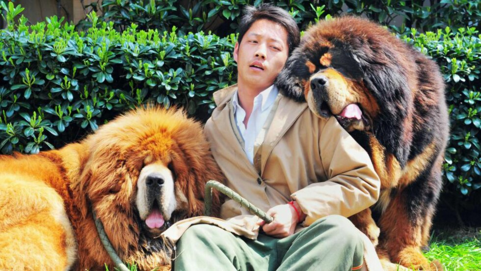11,6 MILLIONER: Tibetansk mastiff er verdens dyreste hund: Her poserer en mann med to nylig solgte hunder, den høyre ble solgt til en kinesisk forretningsmann for 11,6 millioner kroner. Foto: AFP Photo/NTB Scanpix
