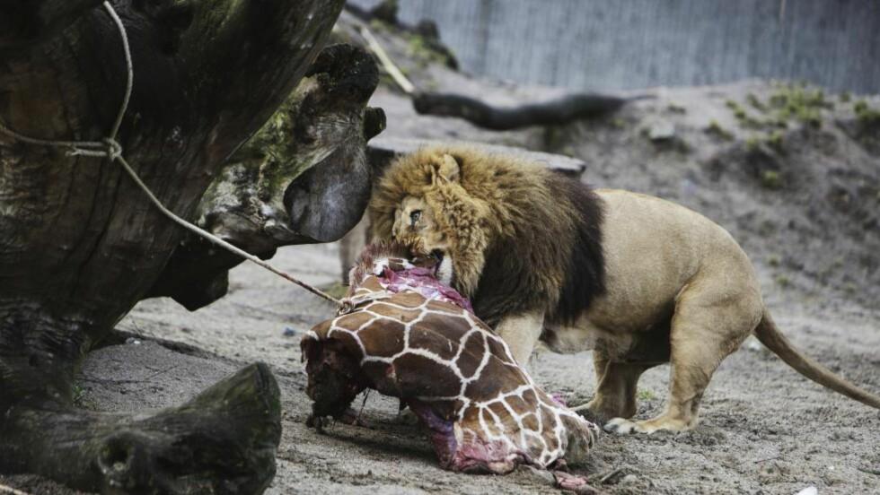 SERVERING PÅ DANSK:  Sjiraffen Marius ble partert foran publikum, og kastet over til naboløvene som lunsj. Nå har København Zoo avlivet løvene - til mediaoppslag over hele kloden. Foto: Kasper Palsnov/NTB Scanpix.