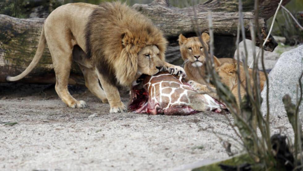 <strong>BLE MAT:</strong> Den 18 måneder gamle sjiraffen Marius ble i dag avlivet, slaktet og matet til løvene foran publikum i dyreparken Zoo i København. Foto: AP Photo/POLFOTO/Rasmus Flindt Pedersen/NTB Scanpix