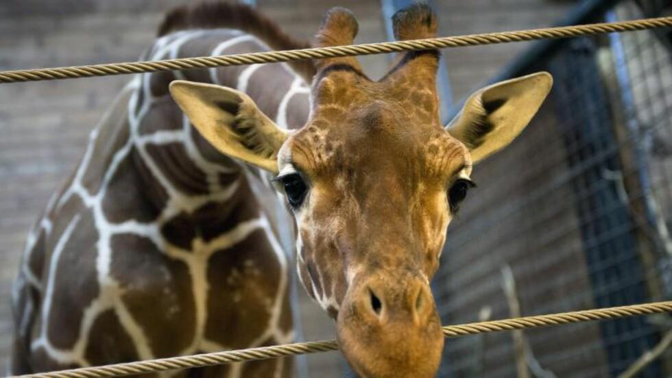 <strong>MARIUS:</strong> Dette bildet ble tatt 7. februar av sjiraffungen Marius. Flere mente at det var uetisk for dyreparken å avlive det friske dyret. Foto: AFP PHOTO/Kasper Palsnov/NTB Scanpix
