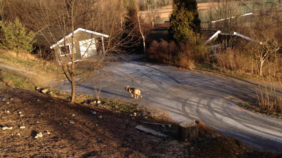 STREIFET I BOLIGSTRØK:  Denne hannulven tok en streiftur i et boligfelt rett ved Skien sentrum mandag formiddag. Foto: 2400-tipser.