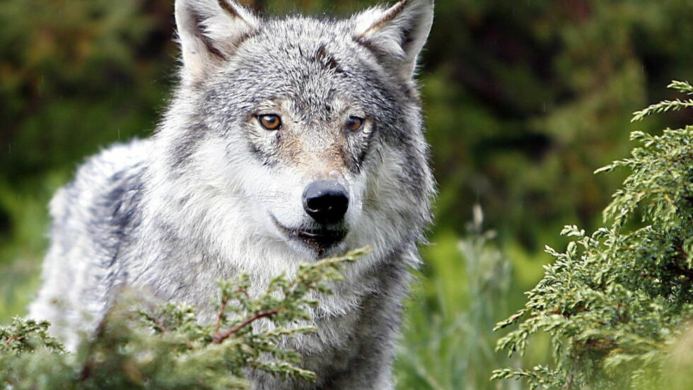 ULVEBESTAND:  Mellom 19 og 31 av ulvene er kun bekreftet på norsk side av grensen mellom Norge og Sverige. Dette bildet er tatt av en av de ville ulvene på Langedrag. Foto:  FOTO: Ole C. H. Thomassen/Dagbladet