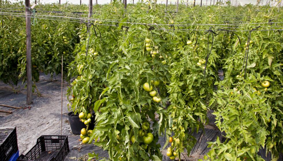 LIKT? Plantene ble beslaglagt av Tvedestrand lensmannskontor fordi de liknet på cannabisplanter før de var ferdig utvokst. Dette er et illustrasjonsbilde av ferdige tomatplanter. Foto: NTB Scanpix
