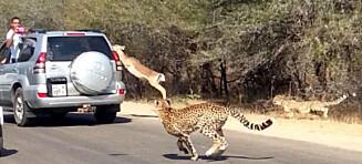 Antilope rømte inn gjennom vinduet til safari-bilen