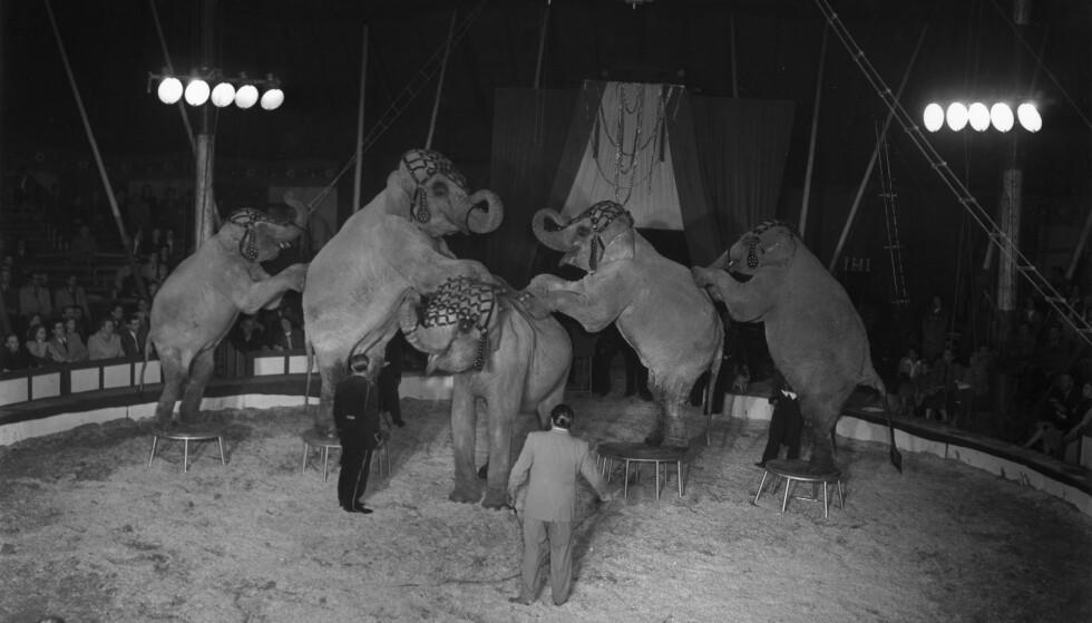BLIR FORBUDT: Slik så det ut på Zirkus Holzmüller i Berlin i 1952, da en rekke elefanter ble gjorde triks for publikum. I Norge blir dette nå ulovlig. Foto: NTB scanpix
