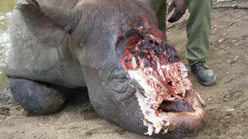 LEMLESTET: Et svart neshorn som ble drept av krypskyttere i Zimbabwe i 2010. Det avkappede hornet ble etter all sannsynlighet sendt til Sørøst-Asia hvor det selges som et mirakelmiddel eller statussymbol. Foto: Anti-poaching Unit Zimbabwe