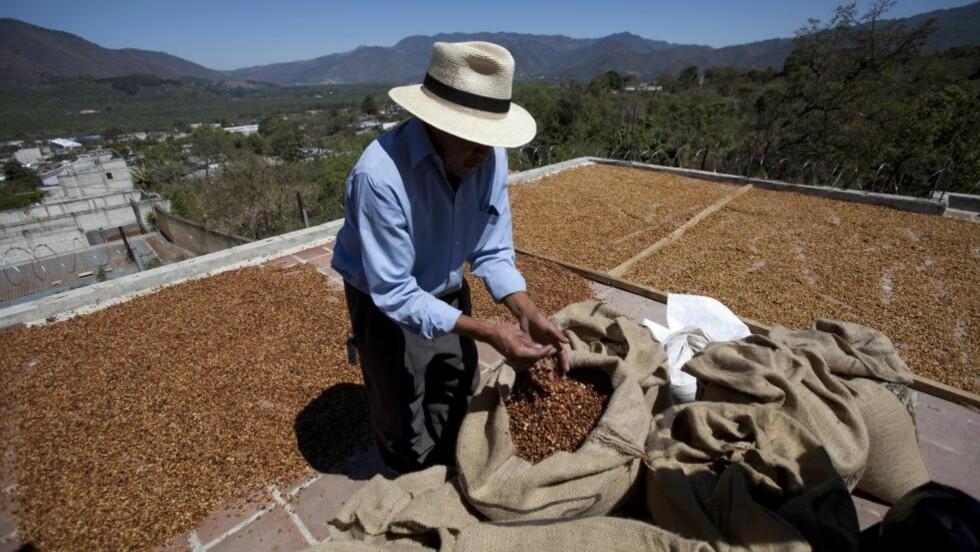 TRUES AV SOPP: En kaffebonde tørker bønner på et tak i Guatemala. Han og mange andre risikerer å miste levebrødet i løpet av det pågående utbruddet av kafferust i Mellom-Amerika. Foto: AP Photo/Moises Castillo/NTB Scanpix