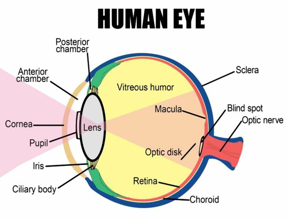 - GIR STØRRE FORSTÅELSE:  Forskerne bak funnet forteller at kunnskap om det nye laget i hornhinna (cornea) vil hjelpe klinikerne til bedre å forstå årsaken bak flere øyeproblemer.
