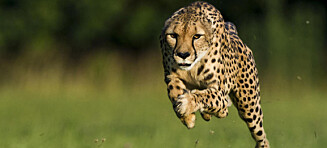 Det er ikke hurtigheten som gjør geparden livsfarlig