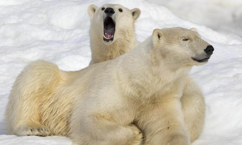 NÆRGÅENDE: Isbjørner skal ha beleiret russiske forskere på øya Trojnov. Her et bilde av to eksemplarer tatt på Wranglerøya. Foto: NTB Scanpix
