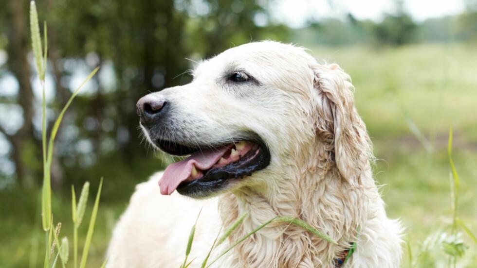 TANNPINE: Som hundeeier burde du sjekke tennene til kjæledyret ditt jevnlig, og sørge for at de blir renset, sier eksperter. Foto: Colourbox