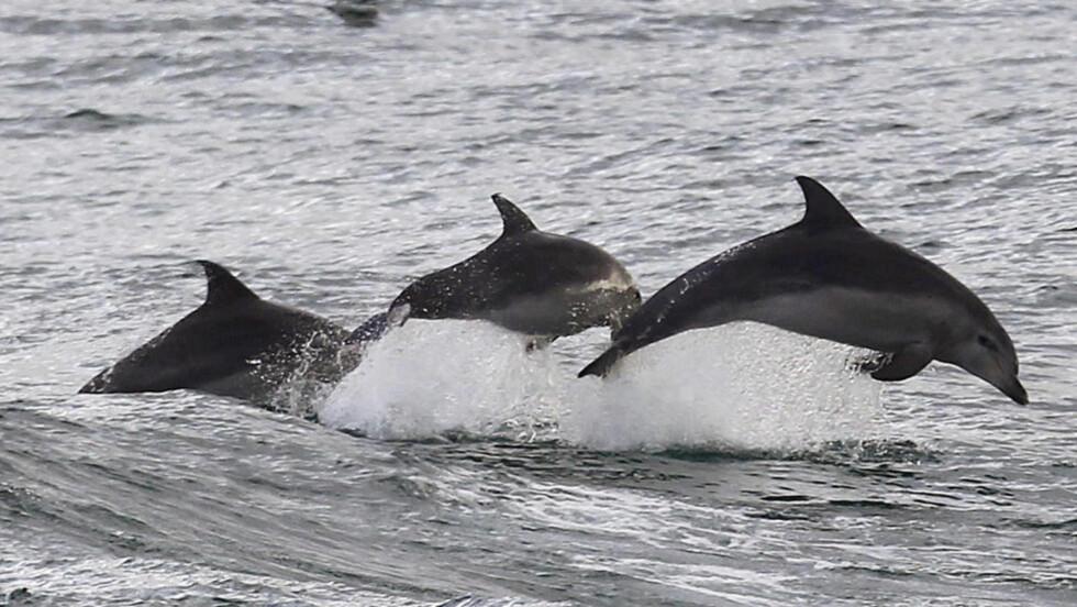 SMARTE: Disse delfinene, som er fotografert i Sydney i Australia i fjor, er trolig harmløse. Men de har noen artsfrender som er utstyrt med noe kraftigere skyts. Foto: REUTERS / Daniel Munoz / NTB scanpix