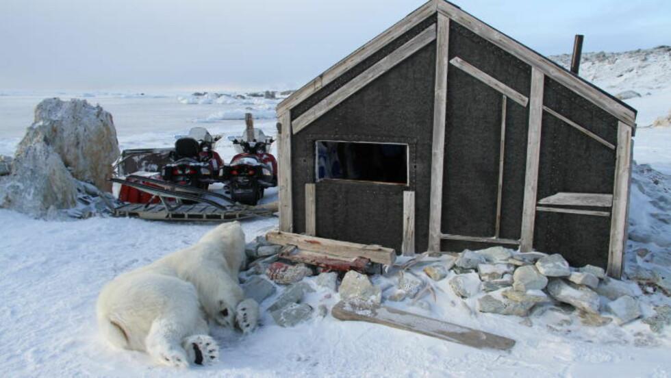 STOR HANNBJØRN: Hannisbjørnen veide 305 kilo. Foto: Arild Lyssand/Sysselmannen