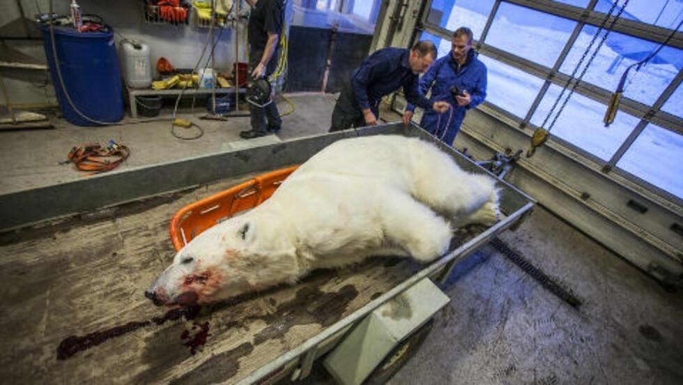 ISBJØRN:  En isbjørn ble i dag skutt på Svalbard da den prøvde å ta seg inn i en hytte hvor to personer oppholdt seg. Foto: Mats Grimsæth