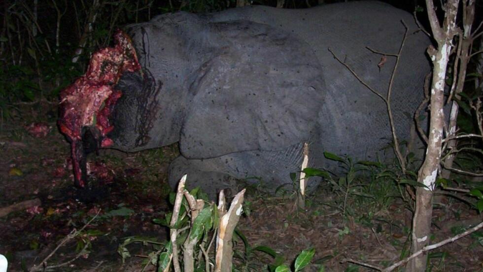 BRUTALT: Krypskytterne jakter bare på efenbenet. Med tragiske følger for elefantene. Foto: World Conservation Society (WCS)