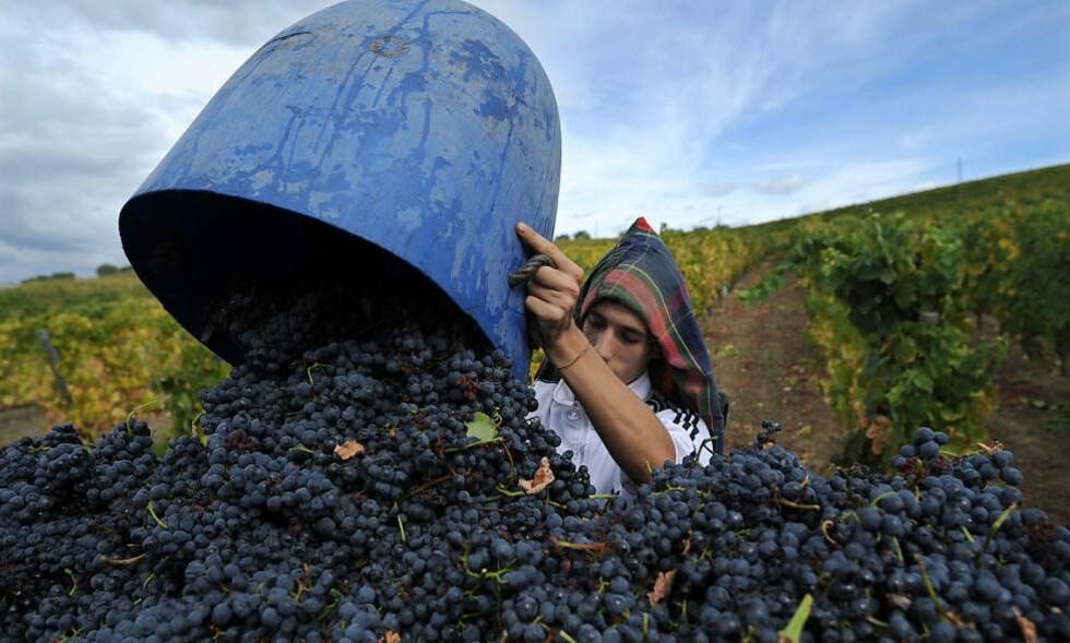 DRUEHØST: Områder som Vinho Verde, Bairrada, Dao og Douro leverer viner av høy internasjonal klasse. Foto: NTB scanpix / AP Photo / Paulo Duarte