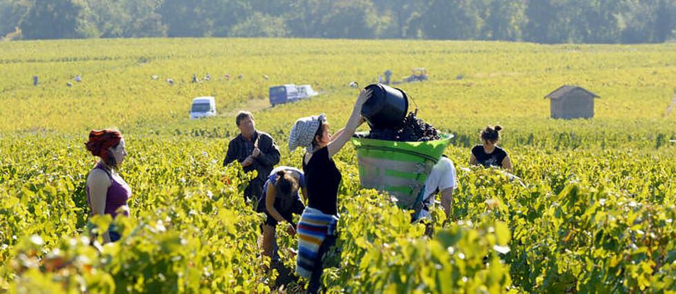 EN VIN FOR ALT: Rhônedalen kan utvilsomt regnes som et av verdens aller fremste vinområder. Her er det mulig for alle og enhver å finne seg en favoritt. Foto: PHILIPPE DESMAZES / AFP / NTB scanpix
