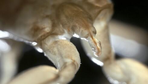 LEVENDE FOSSIL: Vannskorpionen har utviklet seg svært lite de siste millioner av åra, og anses nærmest som et levende fossil. Foto: Science Photo Library / NTB scanpix