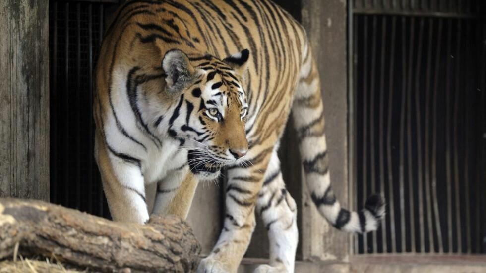 TILBAKE:  En annen tiger i dyreparken i Køln lørdag ettermiddag der en kvinnelig dyrepasser ble drept av en annen tiger tidligere på dagen. Direktøren i dyreparken skjøt og drepte den tigeren. FOTO: MARIUS BECKER, EPA/NTB SCANPIX.