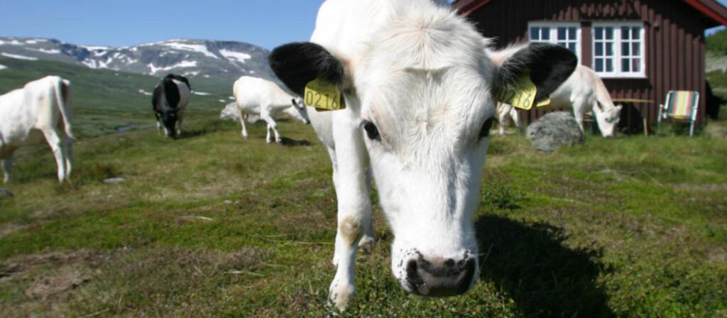 SLIK ER DET IKKJE: «Vi framhevar vår reine natur og flotte beiter, men rein natur og flotte beiter kan visst ikkje nyttast for kyr», skriv artikkelforfattaren. Foto: Geir Bølstad